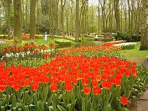 Tulip flowers at the Keukenhof garden - Lisse,...