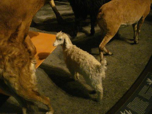 Grande galerie evolution baby sheep taxidermied mounted specimen jardin de plants botanical paris garden