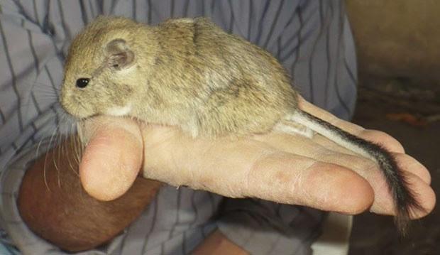 Cientistas homenageiam Kirchner em nome de nova espécie de roedor   (Foto: Reprodução/Facebook/Cenpat)