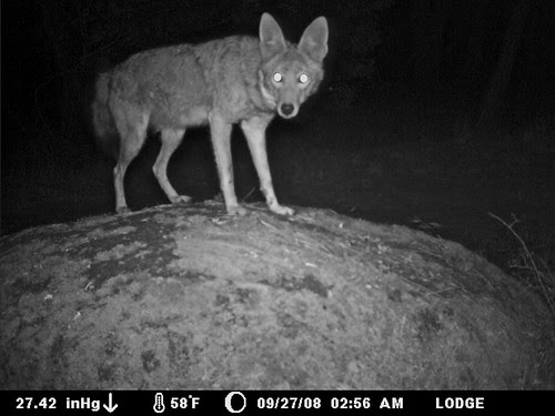 can a coyote get a little privacy?