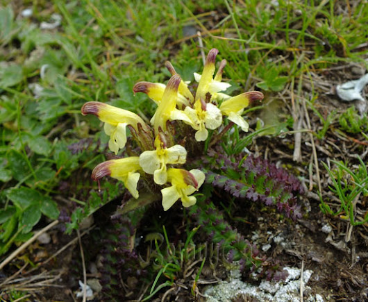 Botanically Inclined - Seed Adventures |   New territory – Pedicularis