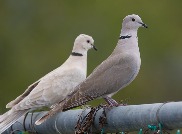 Image result for collared dove