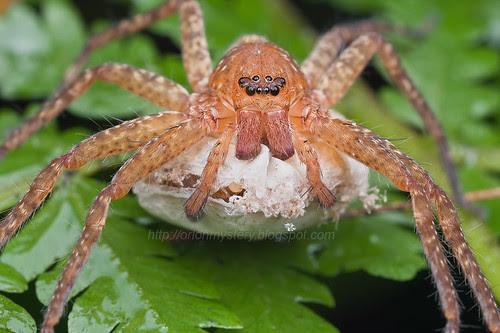 huntsman spider with egg sac IMG_8655 copy