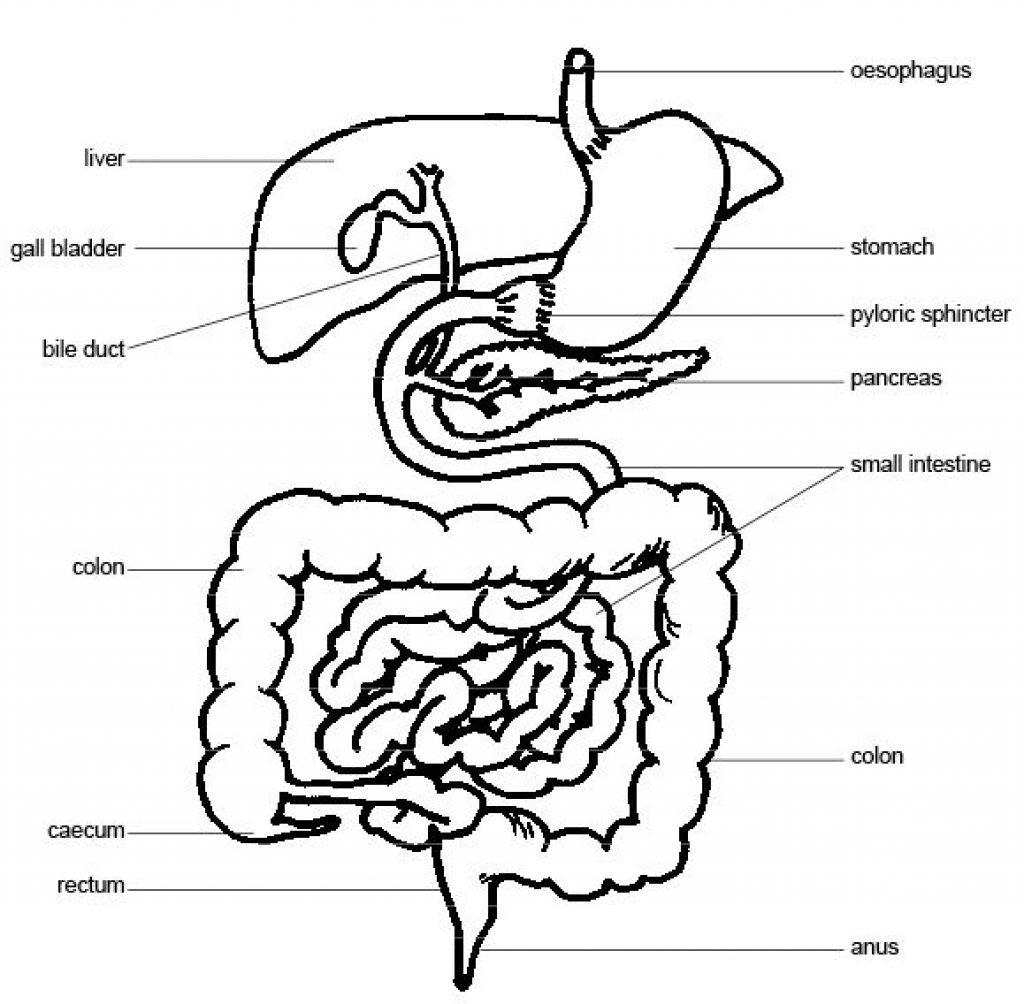 digestive system drawing 20