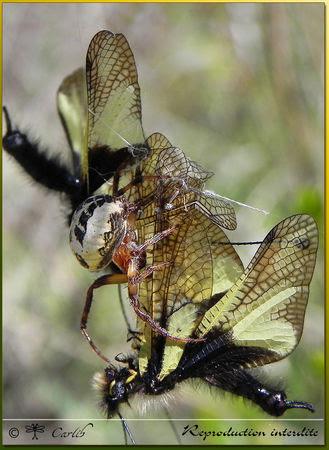 Araig_Larinioides_Cornutus_P022665