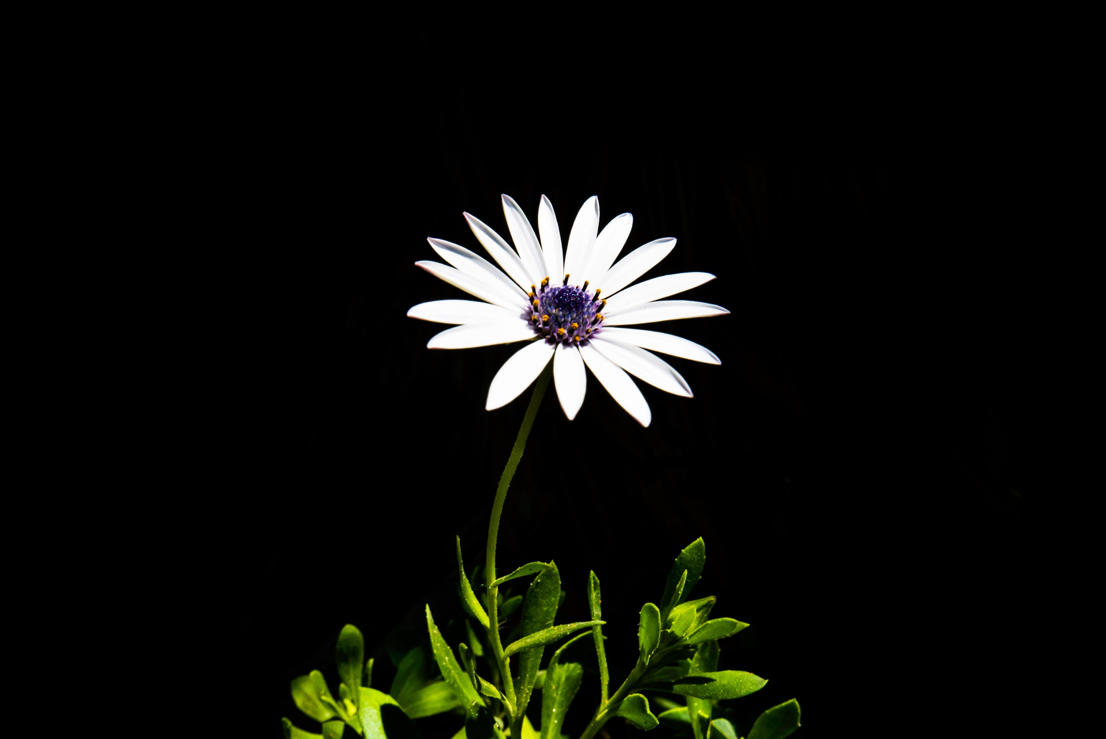 A White Daisy And Stem Against A Black Backgroundwhite Daisy 4k