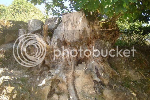 tronco de castiñeiro