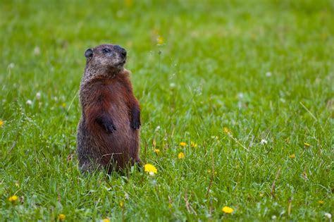 File:Groundhog Standing2