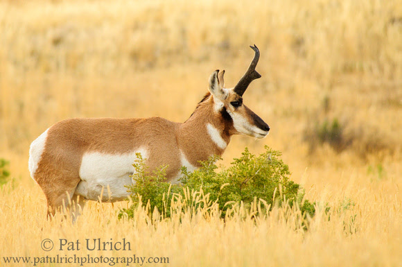 Pronghorn in profile standing in tall grass