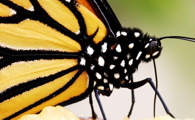 A monarch butterfly sucking at a fruit