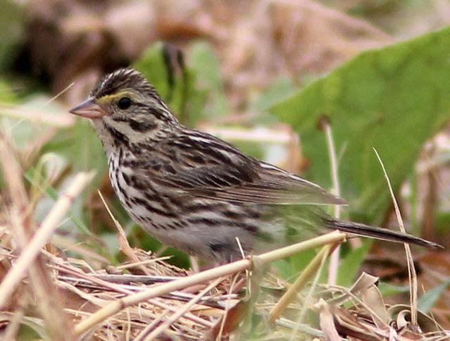 Savannah Sparrow 2-20110707