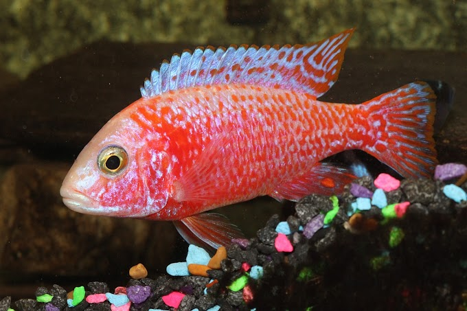 TYPES OF PEACOCK CICHLIDS