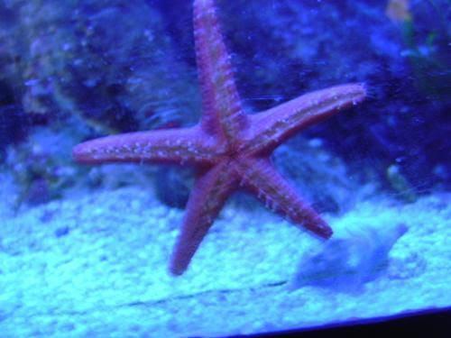 étoile De Mer Sous éclairage Bleu Aquarium Marin Et Eau Douce