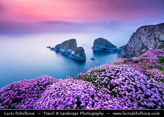 UK - England - Cornwall - Newquay - Whipsiderry Beach at Porth with Sea Pink or Purple Sea Thrift Flower in bloom