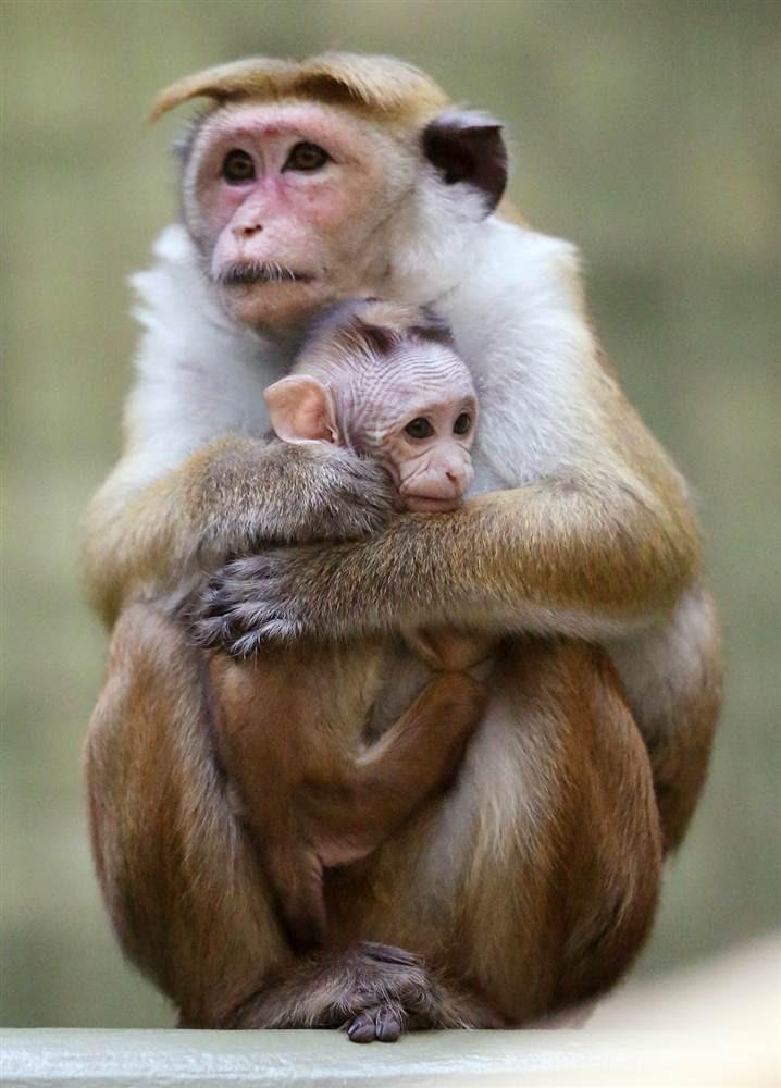Μητέρα μακάκος κρατάει το μωρό της στο ζωολογικό κήπο του Βερολίνου, στη Γερμανία, την περασμένη εβδομάδα.