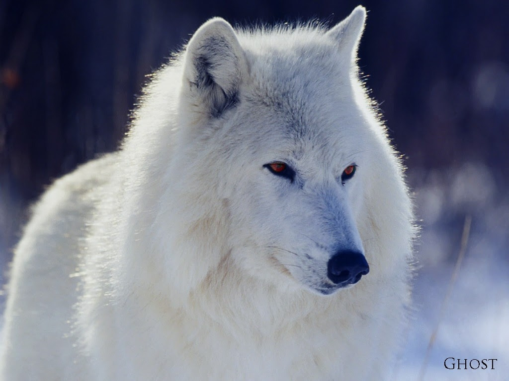 Animals Ghosts Game Of Thrones Tv Series Wolves 1024x768 Wallpaper