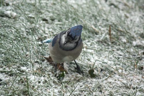 Blue Jay-5.jpg