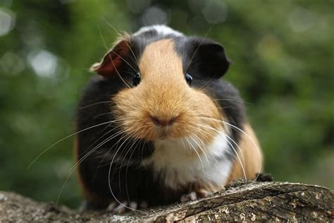 guinea pig facts