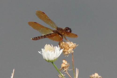 IMG_1077_Eastern_Amberwing_Dragonfly