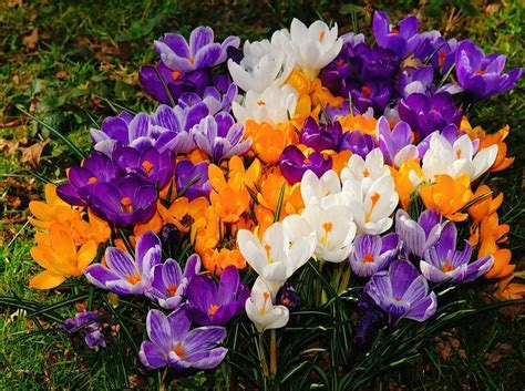 Free photo: Flowers, Crocus, Spring, Bloom   Free Image on