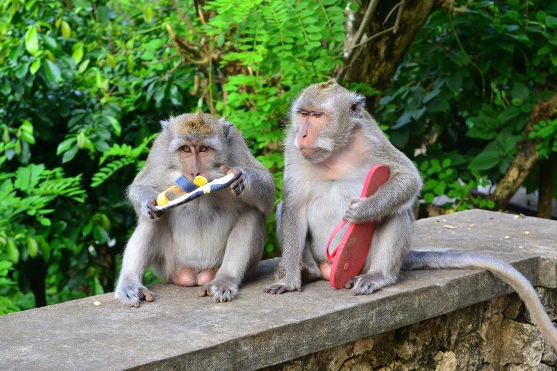 Este grupo de macacos aprendeu a roubar e extorquir os turistas em troca de comida