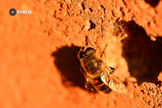 From my garden – Bee on the wall -Day 2