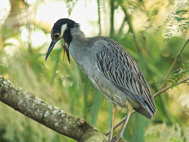Yellow-crowned Night-Heron retching 20131208