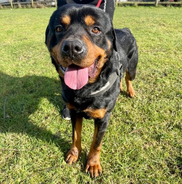 Tony – 6 year old male Rottweiler