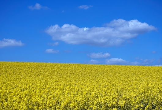 Yellow Blue - Rapeseed (canola - neilhoward | ello