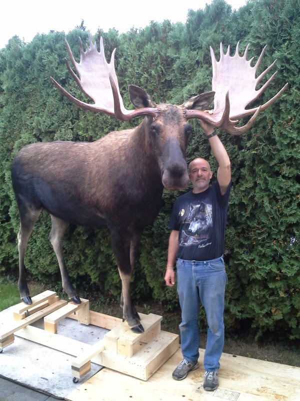How Big Are Moose Compared To Humans : moose, compared, humans, Moose, Horse