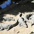 Bhitarkanika park in Odisha welcomes  3,000 saltwater baby crocodiles - The Times of India