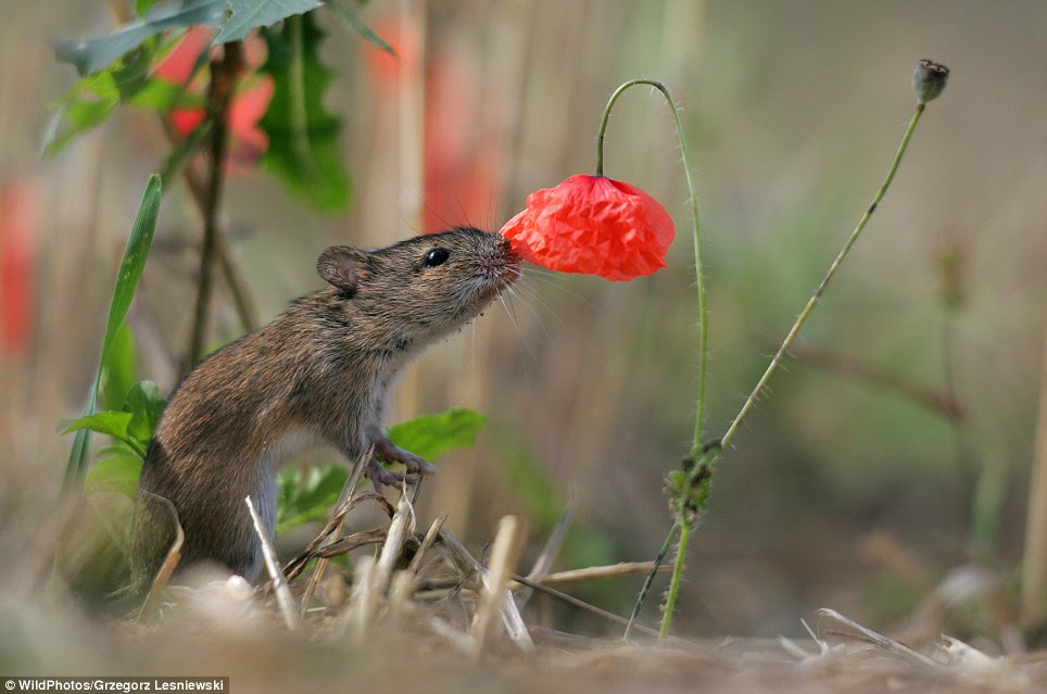 A striped field mouse investigates a red blossom in a cornfield. Grzegorz Lesniewski's managed to get an impressively close shot of the animal