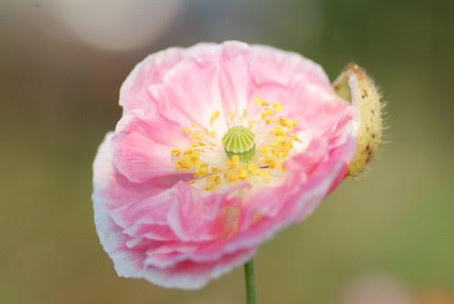 poppy by angel_emiko