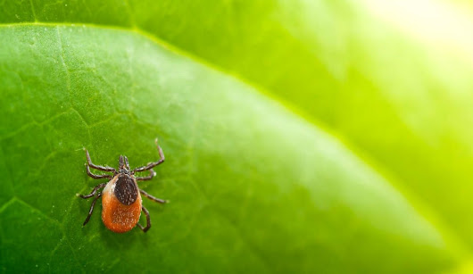 New, Serious Longhorn Tick Infestation in Pennsylvania