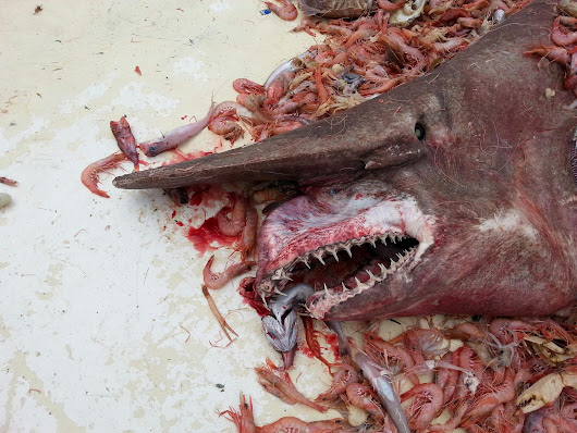 Rare Goblin Shark Snagged By Fisherman Off Florida Waters