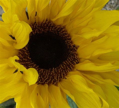 Sunflower For Mother?s Day. Free Flowers eCards, Greeting