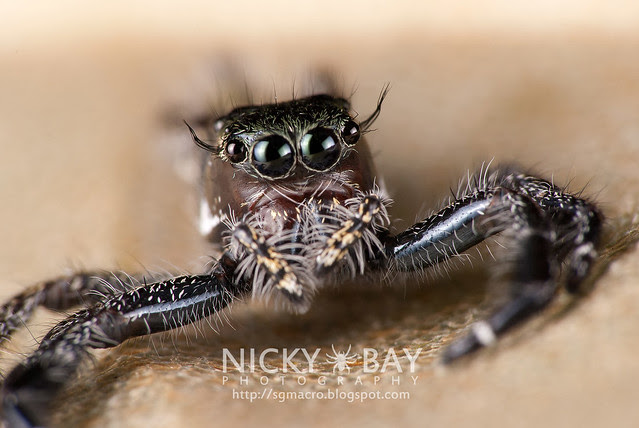 Jumping Spider (Salticidae) - DSC_7297