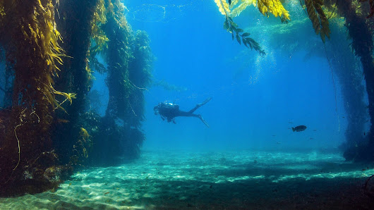 Saving California's underwater forests - Oceanographic
