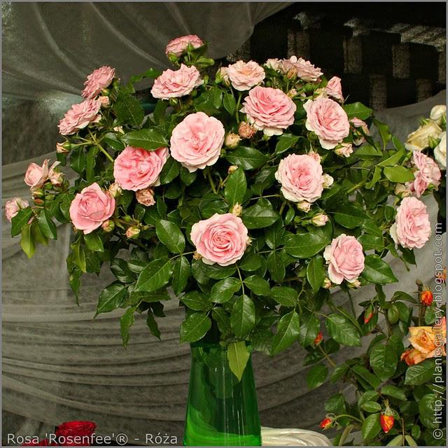 Rosa 'Rosenfee' - Róża