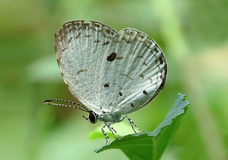 File:Neopithecops zalmora by Kadavoor.JPG