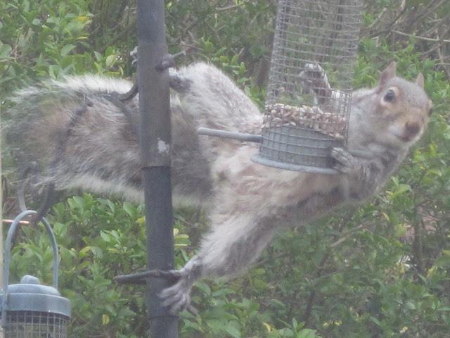 squirrel antics (15)