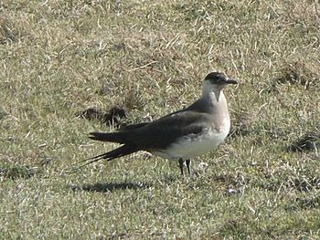 English: Arctic skua. Known as a scootie allan...