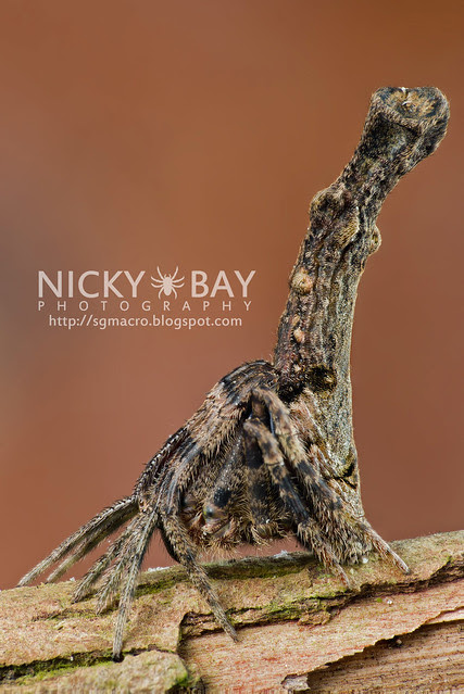 Tree Stump Orb Weaver (Poltys elevatus) - DSC_7058