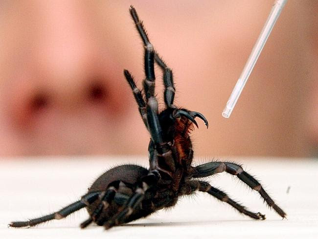 The Australian Reptile Park's stock of funnel web spiders is low, affecting the amount of