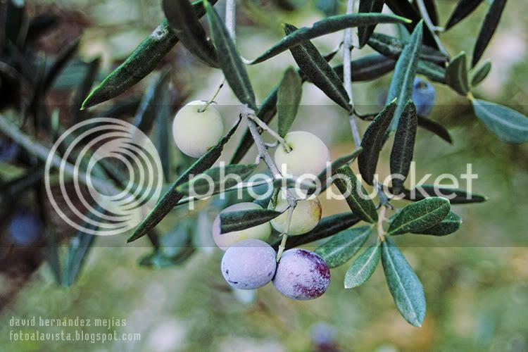 Aceitunas verdes y negras en las ramas del olivo antes de recoger justo en época de recolección