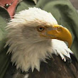 Wounded Eagle Gets New 3D Printed Beak