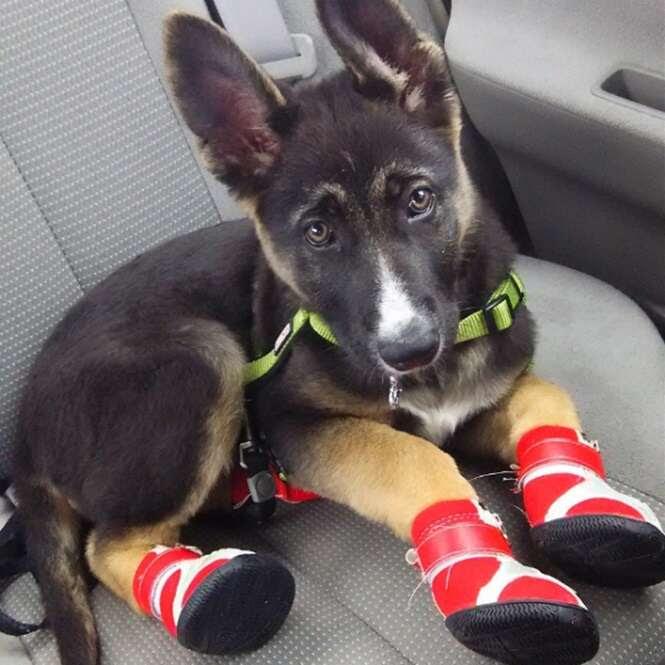 Cãezinhos que ficaram ainda mais fofos usando calçados