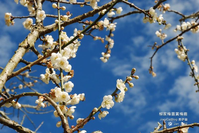 2012_0115_柳家梅園賞梅趣_14DSC_3931