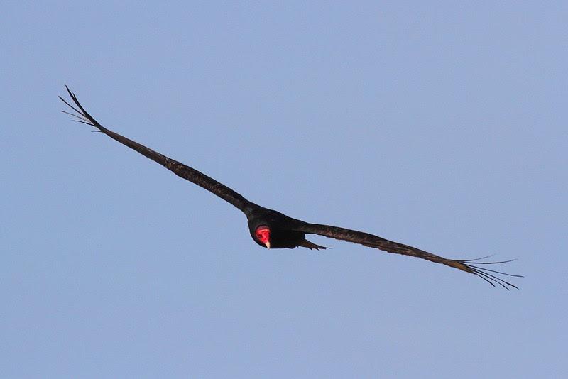 IMG_5449 Turkey Vulture at Piedras Blancas, San Simeon, CA