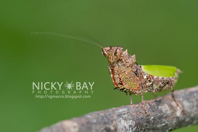Pachymantis bicingulata - DSC_0620
